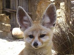 Fennec Fox Facts For Kids – Desert Fox Facts