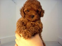 red tiny toy poodles - Google Search