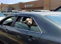 What's weirder...the goat staring at you, or the fact that there is a goat in this person's car?