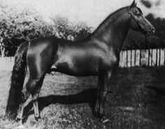 Ethan Allen II, Lippit Morgan stallion, bred by the Peters family in Vermont. More in http://www.lippittmorganbreedersassociation.com/what-is-a-lippitt-morgan.html