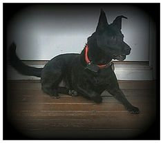 A black Coyote,  yep she is mine,  But don't tell anyone :)