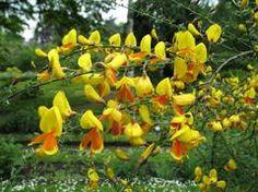 "Cytisus scoparius  ""Broom"" Nitrogen Fixing Tree Garden Buildings, Plants, Plant, Planets"