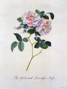 The York and Lancaster Rose - Georg Dionysius Ehret