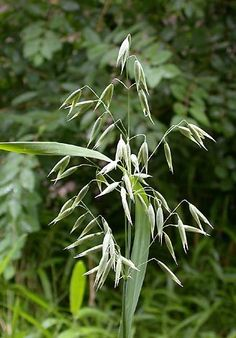 Avena sativa -- Milky oat  So nourishing to the nervous system :)