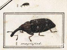 A black and white illustration of Pissodes striatulus.