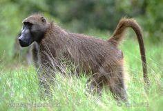 chacma baboon - Google Search