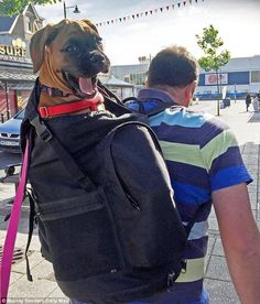 Give me a lift... I'm dog tired: Mr Barron-Robinson carries the family's three-month-old boxer dog Wilma in her beloved rucksack that she enjoys more than walking further than two miles