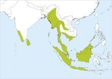 Brown-backed Needletail (Hirundapus giganteus)