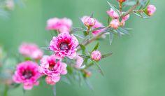 10 benefícios do óleo de Melaleuca para beleza e saúde