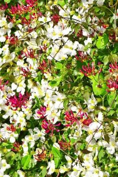 Clematis & Honeysuckle flower wall – My CMS Amaryllis, Honeysuckle Flower, Cottage Garden Plants, Ground Cover Plants, Real Plants, Ivy Plants, Flowering Vines, Plantation, Winter Garden