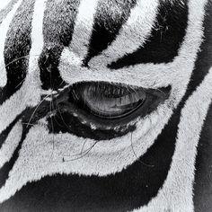Close up of Zebra eyes