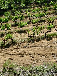 Vignes à Sarrians, Vaucluse, PACA, France  #vaucluse #provence