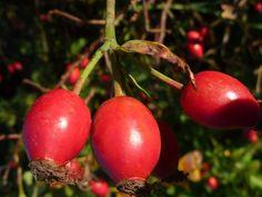 Oktober-Rezept: Hagebuttenmarmelade aus dem Naturpark Münden
