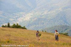 Récolte de l'Arnica pour Weleda au Markstein
