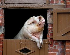 """""""Yep, I am master of the farmyard. I AM KING of my domain. And--all the ladies love me. Ahhh, ...yeah,  well, when's supper? OINK.""""...bh"""