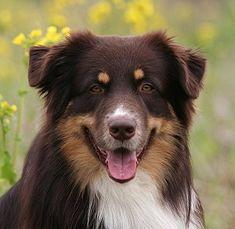 Australian Shepherd, red tri
