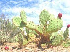 les plantes médicinales du Sahara: les bienfaits du nopal