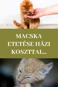 Macska | Cica | Kismacska | Kiscica | Állat | Kedvenc | Macska etetése | Cica etetése | Macska táplálása | Cica táplálása | Házikoszt | Házi koszt Cats, Animals, Gatos, Animais, Animales, Animaux, Animal Books, Animal, Kitty