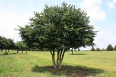 Yaupon Holly - grows to 15' - zones 7 thru 11 (Houston is zone 9)