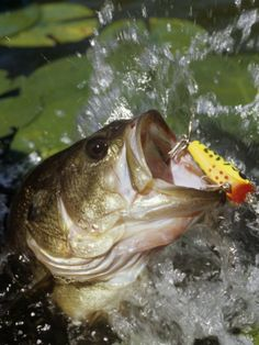 Photographic Print: Largemouth Bass with Surface Lure Poster by Wally Eberhart : Fishing Bass Fishing Tips, Gone Fishing, Best Fishing, Trout Fishing, Kayak Fishing, Fishing Tackle, Fishing Boats, Fishing Tricks, Carp Fishing