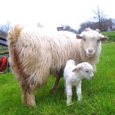 Sunshine - first kid of 2013. Here just 3 hours old. www.chianticashmere.com