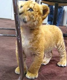 During the first three years of their lives, the liger cubs grow at around 1 pound of weight per day.
