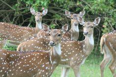 Spotted Deer, Nagarhole, Karnataka. India - Flickr - Photo Sharing!