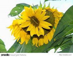 Sunflower after radiation