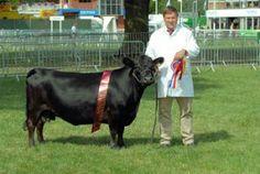 Dexter Cattle, Yes, I want dwarf Irish Dexter cows on my property! Mini Cows, Mini Farm, Dairy Cow Breeds, Dexter Cattle, Farm Animals, Cute Animals, Miniature Cattle, Raising Cattle, Small Farm