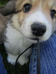 This doesn't even look real, right? RIGHT?! #corgi #puppy