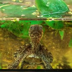 What are YOU looking at?? Razorback musk turtle Turtle Time, Pet Turtle, Animal Babies, Baby Animals, Musk Turtle, Aquatic Turtles, Stone Plant, Water Animals, Reptiles And Amphibians