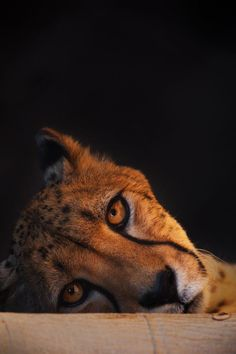 Peek von Jonathan Truong - Kara's cats and kittens - Tierbilder I Love Cats, Big Cats, Cats And Kittens, Siamese Cats, Animals And Pets, Baby Animals, Cute Animals, Wild Animals, Beautiful Cats