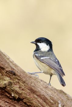 Coal Tit (Periparus ater) by chris smith
