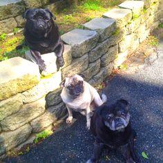 Trio of pugs - Oscar, Bella, & Yoda