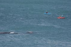Plenty of whales in the bay from August to November and kayaking is a great way to experience them. Whales, Kayaking, November, Animals, November Born, Kayaks, Animales, Animaux, Whale