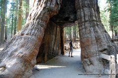 Decor Units: The Top 20 Oldest Giants Living Trees Around The World Giant Tree, Big Tree, California National Parks, California Travel, Great Places, Places To Go, Sequoiadendron Giganteum, Tree Tunnel, Sequoia National Park
