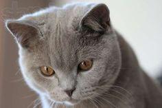 фото кошек породистых: 32 тыс изображений найдено в Яндекс.Картинках