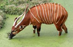Le bongo Décrit pour la première fois en 1861  Cette espèce de la famille des antilopes est la plus imposante vivant en forêt. Ce magnifique mammifère, qui peut frôler les 1000 livres, possède des cornes pouvant pousser jusqu'à un mètre, soit trois pieds. Cet herbivore vit au centre et au sud du continent africain. Le mâle de l'espèce a tendance à vivre en solitaire.