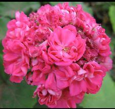 Rosebud Pelargonium Geranium x 1 Tube Plant - Hot Pink