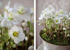 Helleborus Verboom Beauty blomstrer svært rikt og lenge.