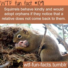 Actually...dominant male squirrels will go into nests and chew the testicles off of male babies...thus insuring their dominance. I read it in the Missouri conservationist magazine. But these people seem to be happy with hugging... So okay.