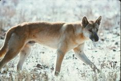 Dingo Lady: The Truth About Dingoes 12: Hybridisation