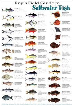 Roy's Field Guide--Saltwater Fish to be found in the Gulf Coast area Surf Fishing, Fishing Knots, Fishing Guide, Trout Fishing, Saltwater Fishing, Fishing Lures, Fishing Basics, Fishing Stuff, Fishing Uk