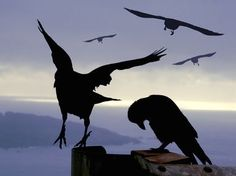 Ravens. Album cover image for Black Raven / First Flight. Couldn't find credit for the photographer.