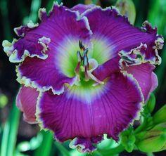 Daylily, Hemerocallis 'Violet Etching' (Stamile, 2008)