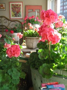 Beautiful pink geraniums geraniums in every room :)