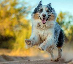 Australian Shepherd Photo of the Month — Photo: Todd Wynia, Aussie: Jasper