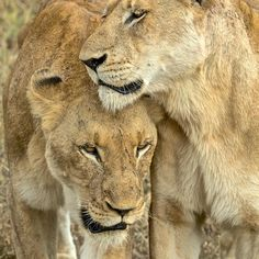 @stevewinterphoto @natgeo Sisters are so cool.  Please watch a South African film on canned hunting by environmental film maker Ian Michler - http://www.bloodlions.org  About 50% of the lions from lion farms end up in the Chinese bone and skin trade.  Our animal family is so much like us - they find mates, they have kids, they have to feed themselves and their families, 