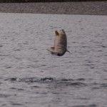 51. Laks hopper op af vandet, sket mange gange om dagen, Alaska på tværs
