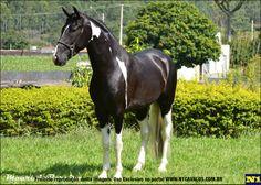 Mangalarga Marchador stallion Birro do Bom Jardim